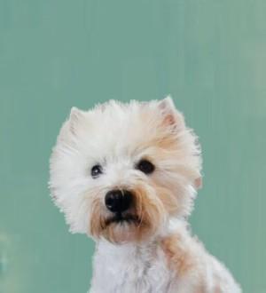west highland white terrier. scarlett johannson della griduzza