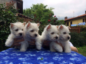 "alt:=""allevamento-west-highland-white-terrier"""