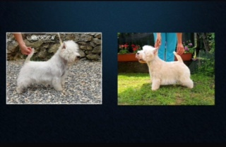 "alt=""cuccioli-west-highland-white-terrier-westie"""