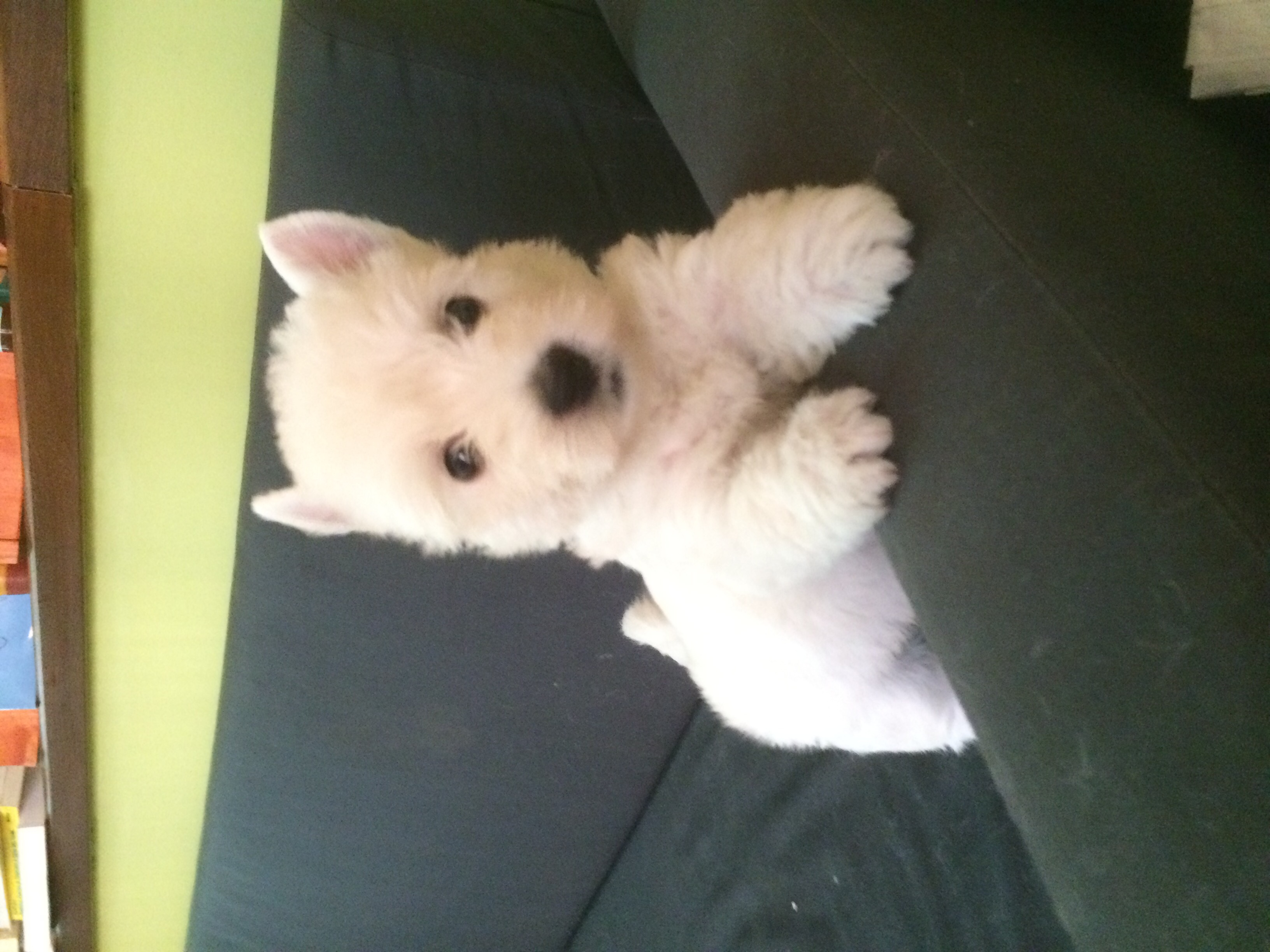 Cuccioli-West-highland-white-terrier""