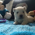 "Alt:""cuccioli-West-highland-white-terrier"""