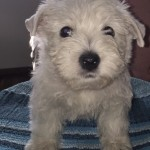 "Alt:""cuccioli-di-West-highland-white-terrier"""