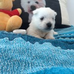 "Alt:""Cuccioli di West highland white terrier"""