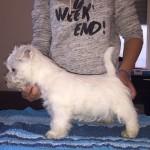 """Alt:""""cuccioli-Westie"""""""