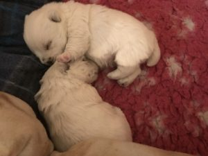 "Alt:""cucciolo-di-West-Highland-white-terrier"""