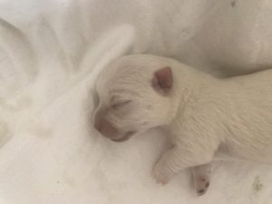 "Alt:""cuccioli-West-Highland-white-terrier"