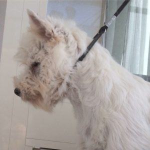 "alt:""west-highland-white-terrier"""