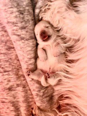 """alt:""""cucciola-west-highland-white-terrier"""""""