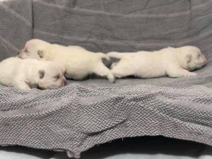 "Alt:""cuccioli-West-highland-White-terrier"""